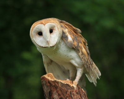 Barn_Owl_1