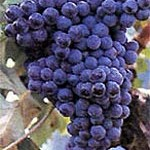 Frappato Grapes